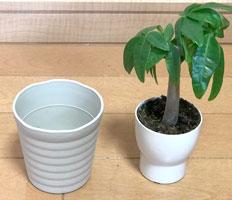 【目的1:大きく育てる】パキラの植え替えの仕方【実例紹介】