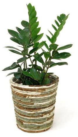 育てやすい小型の観葉植物  第1位:ザミオクルカス