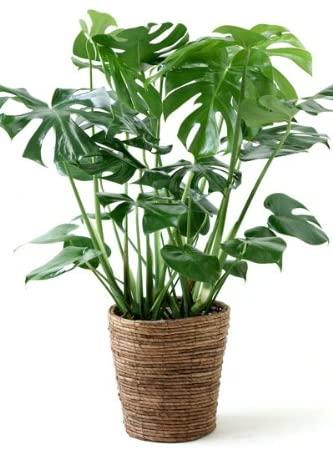 育てやすい大型の観葉植物 第2位:モンステラ