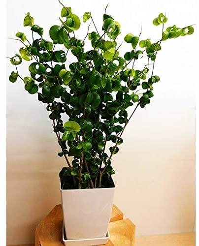 育てやすいおしゃれな観葉植物 第3位:フィカス・ベンジャミン・バロック
