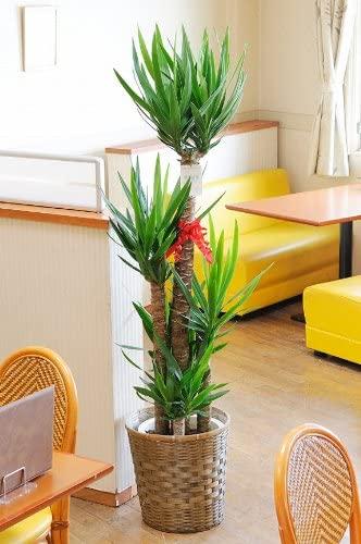 育てやすい大型の観葉植物 第1位:ユッカ