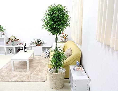 育てやすい大型の観葉植物 第3位:フィカス・ベンジャミナ
