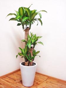 【人気が高い③】ドラセナ・マッサンゲアナ:「幸福の木」として人気