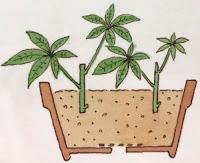 観葉植物パキラの挿し木の方法