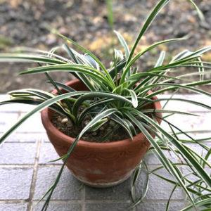 育てやすい小型の観葉植物  第2位:オリヅルラン