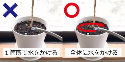 1.鉢土の1箇所だけでなく全体に水をやる