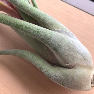 エアプランツ(チランジア)の種類:緑葉種と銀葉種
