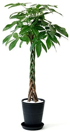 観葉植物パキラの樹形の仕立て方