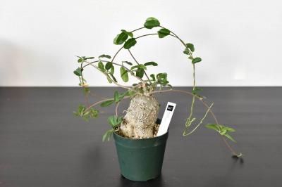 [塊根(かいこん)植物・コーデックスの種類③]火星人(フォッケア・エデュリス)