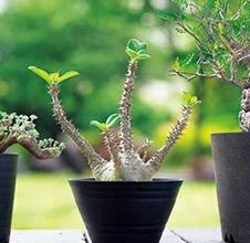 塊根(かいこん)植物・コーデックスとは?読み方やその特徴