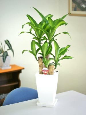[水やり具体例③]観葉植物 幸福の木(ドラセナ・マッサンゲアナ)の水やり