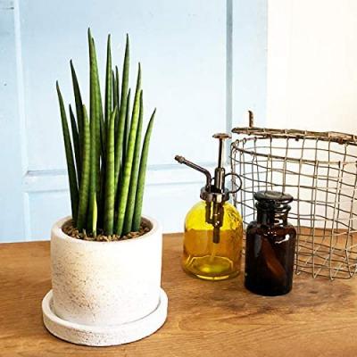育てやすい初心者向けの観葉植物 第2位:サンセベリア・バクラリス