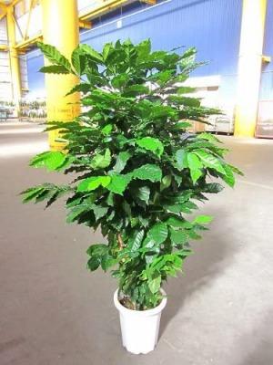 開花結実している大きい苗も販売しているので、こちらならすぐにコーヒー豆を採取できます。