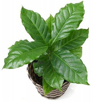 [おすすめの観葉植物3]コーヒーの木・コーヒーノキ(小型~中型)