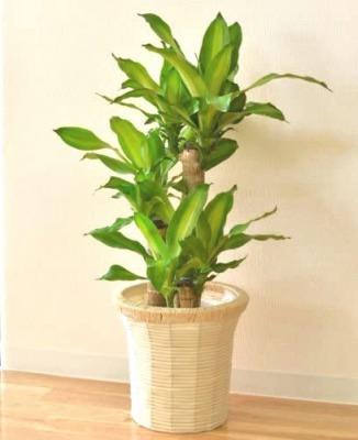 [おすすめの観葉植物6]幸福の木・コウフクノキ(小型~大型)