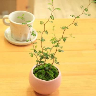 育てやすいおしゃれな観葉植物  第1位:ソフォラ・ミクロフィラ