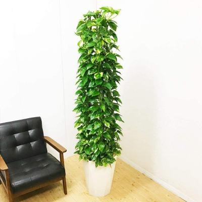 ツル性の植物で、茎がどんどん伸びていくので、吊り鉢で垂らしたり、ヘゴ棒などにつけてタワー仕立てにすることもできます。