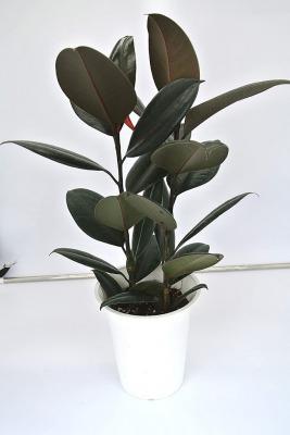 育てやすいおしゃれな観葉植物  第2位:インドゴムノキ