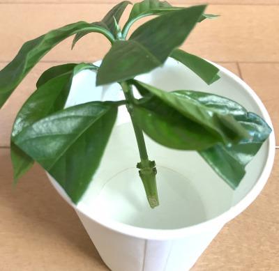 【「コーヒーの木」挿し木の手順5】切り口を1時間ほど水につける