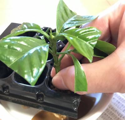【「コーヒーの木」挿し木の手順9】さし穂を土に挿し、土をぎゅっと押す
