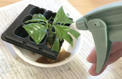 【「コーヒーの木」挿し木の手順10】霧吹きで葉水をあげる【終了】