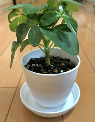 【100円ショップ ダイソーのミニ観葉植物】植え替えにおすすめの格安プラスチック鉢