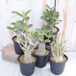 代表的な塊根(かいこん)植物・コーデックスの種類