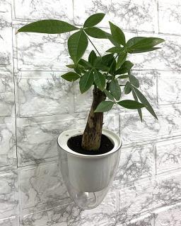 人気観葉植物 パキラへの肥料の与え方と与える時期