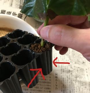 【挿し木の植え替え(鉢上げ)手順3】苗をトレーから抜く