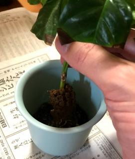【挿し木の植え替え(鉢上げ)手順1】鉢に苗を植える