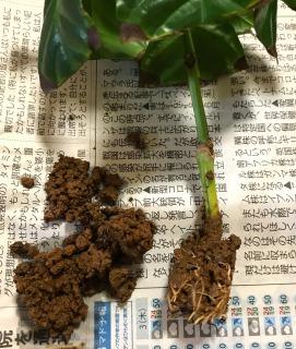 【挿し木の植え替え(鉢上げ)手順4】よぶんな土を落とす